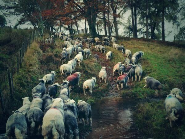 Un pastor de ovejas en Twitter